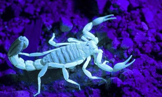 scorpion-glowing-under-black-light